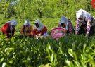 432 میلیارد تومان از مطالبات چایکاران گیلان و مازندران پرداخت شد